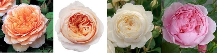Пионовидные розы для свадебных букетов