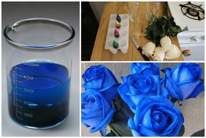Как получают синие розы